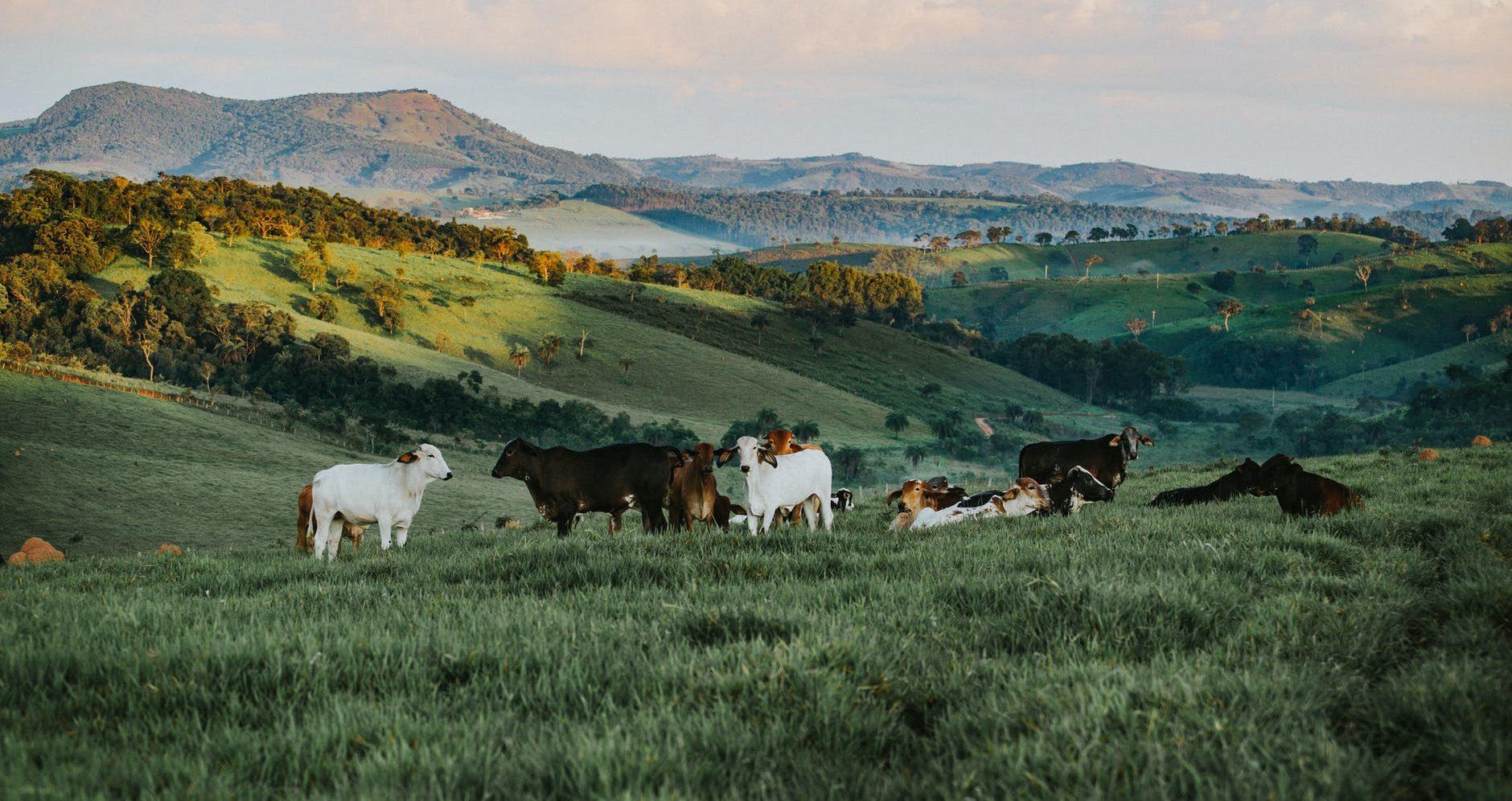 herd of cattle in daytime